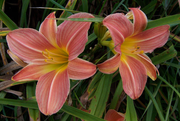 Late Summer Rose daylily