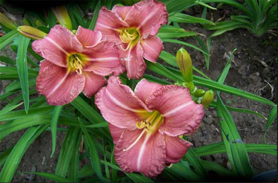 In Strwberry Time daylily