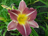 Kings Throne Daylily