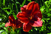 Old Tangiers Daylily